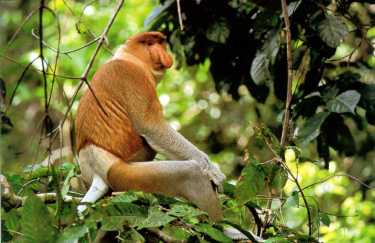 Proboscis-Monkey-exborneo.com_
